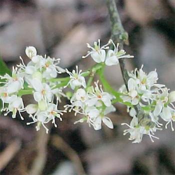 Naturreines, ätherisches Amyrisöl Amyris balsamifera