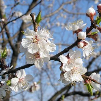 Naturreines Aprikosenkernöl Prunus armeniac