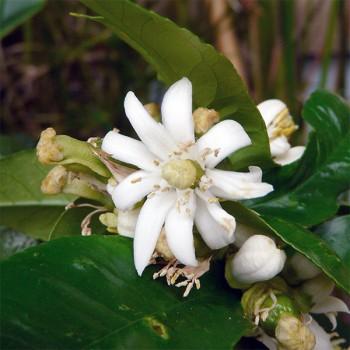 Naturreines, ätherisches Bergamotteöl BIO Citrus bergamia 5 ml