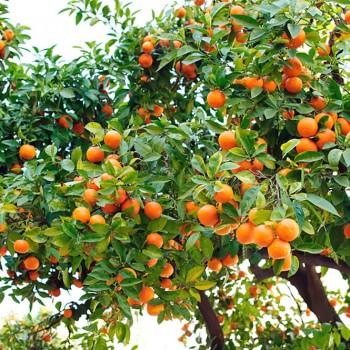 5ml Naturreines, ätherisches Blutorangenöl Citrus sinensis