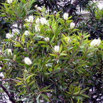 10ml Naturreines, ätherisches Cajeputöl Melaleuce leucadendron