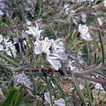 Naturreines, ätherisches Rosmarinöl Rosmarinus officinalis CT Campher