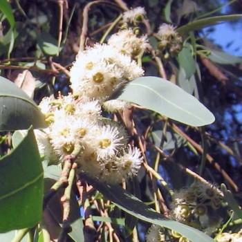 Naturreines, ätherisches Eukalyptusöl Eucalyptus citriodora