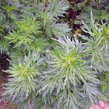 Naturreines, ätherisches Davanaöl Artemisia pallens