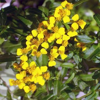 Naturreines, ätherisches Estragonöl Artemisia dracunculus