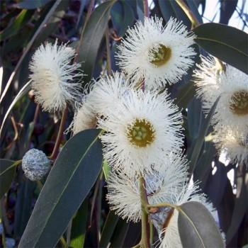 Naturreines, ätherisches Eukalyptusöl Eukalyptus globulus 10 ml