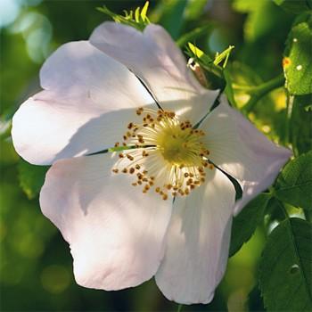 Naturreines Hagebuttenkernöl Rosa canina
