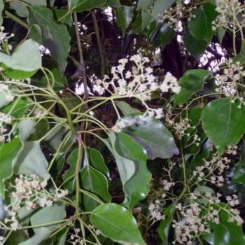 5ml Naturreines, ätherisches Hoholzöl Cinnamomum camphora