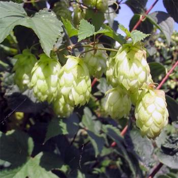 Naturreines, ätherisches Hopfenöl Humulus lupulus