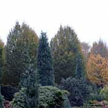 Naturreine, ätherische Ölmischung Immergrün