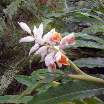 5ml Naturreines, ätherisches Kardamonöl Elettaria cardamomum