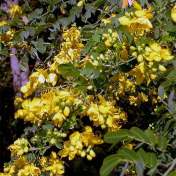 Naturreines, ätherisches Kassiaöl Cinnamomum cassia