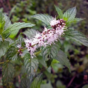 10ml Naturreines, ätherisches Krauseminzeöl Mentha spicata