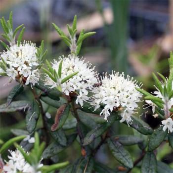 5ml Naturreines, ätherisches Ledumöl Ledum groenlandicum