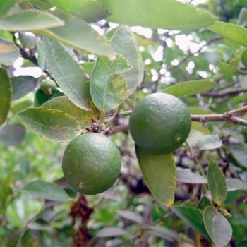 Naturreines, ätherisches Limonenöl Citrus aurantifolia