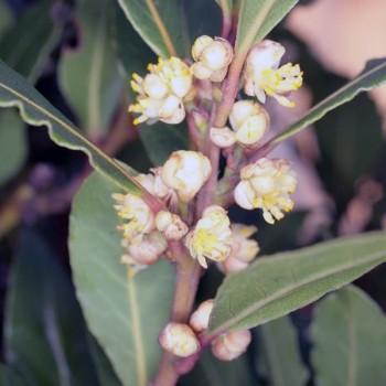 10ml Naturreines, ätherisches Lorbeeröl Laurus nobilis