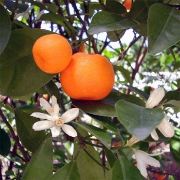 Naturreines, ätherisches BIO Mandarinenöl Citrus reticulata