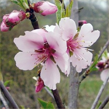 Naturreines Mandelöl süss Prunus dulcis