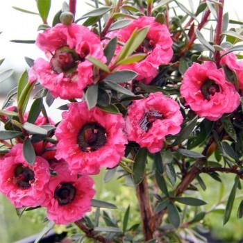 Naturreines, ätherisches Manukaöl Leptospermum scoparium
