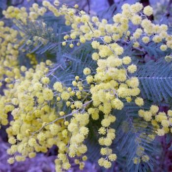 Naturreines, ätherisches Mimosenöl Acacia dealbata