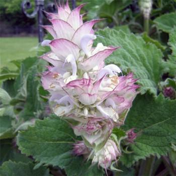 Naturreines, ätherisches Muskatellersalbeiöl Salvia sclarea