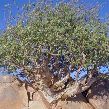 Naturreines, ätherisches Myrrhenöl Commiphora myrrha