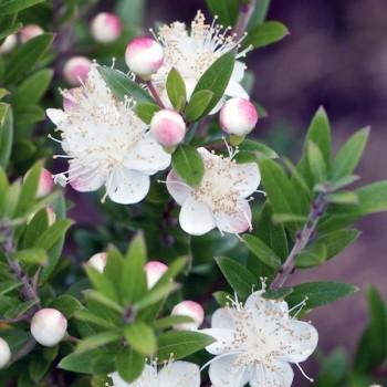 Naturreines, ätherisches Myrtenöl Myrtus communis 5 ml