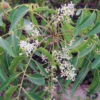 Naturreines Neemöl Azadirachta indica