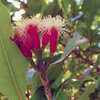 Naturreines, ätherisches BIO Nelkenöl Syzygium aromaticum