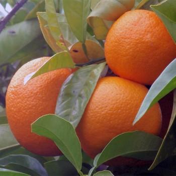 Naturreines, ätherisches Neroliöl Citrus aurantium
