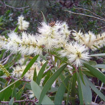 Naturreines, ätherisches Niaouliöl Melaleuca quinquenervia 10 ml