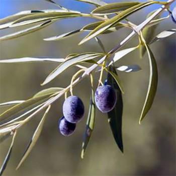 Naturreines Olivenöl Umbrien Olea europaea