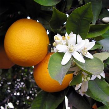 Naturreines, ätherisches Orangenöl süss Citrus sinensis dulcis