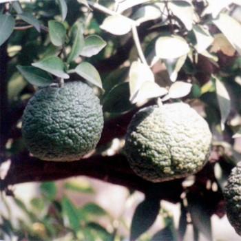 5ml Naturreines, ätherisches Petitgrainöl Citrus amara