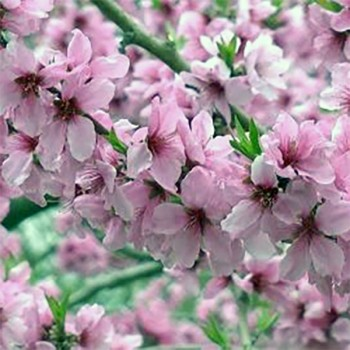 Naturreines Pfirsichkernöl Prunus persica