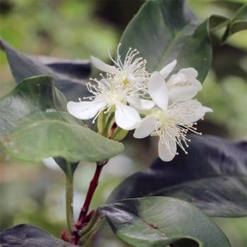 10ml Naturreines, ätherisches Pimentblätteröl Pimenta dioica