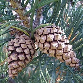 Naturreines, ätherisches Pinienöl Pinus sylvestris
