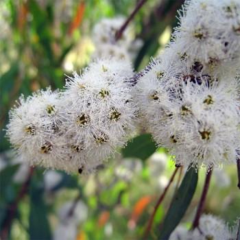 Naturreines, ätherisches BIO Eukalyptusöl Eucalyptus radiata 5 ml