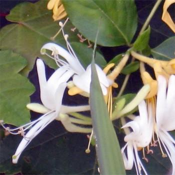 10ml Naturreines, ätherisches Ravensaraöl Ravensara aromatica