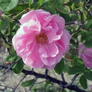 Naturreines, ätherisches Rosenöl Rosa damascena