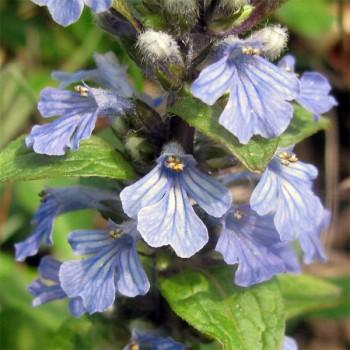 Naturreines, ätherisches BIO Salbeiöl Salvia officinalis