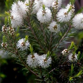Naturreines, ätherisches BIO Teebaumöl Melaleuca alternifolia