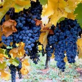 Naturreines Traubenkernöl Vitis vinifera