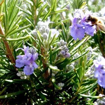 Naturreines, ätherisches Rosmarinöl Rosmarinus officinalis CT Verbenon 5 ml