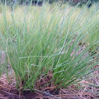 Naturreines, ätherisches Vetiveröl Vetiveria zizanioides