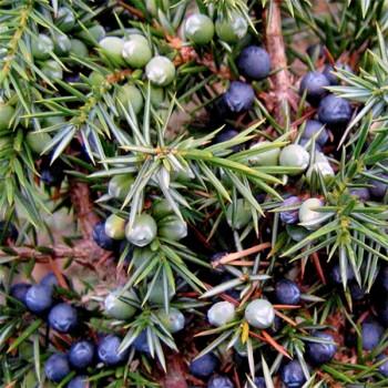 Naturreines, ätherisches Wacholderholzöl Juniperus communis
