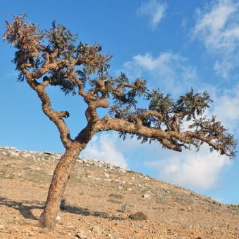 Naturreines, ätherisches Weihrauchöl Boswellia carteri