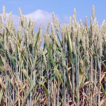 Naturreines Weizenkeimöl Triticum aestivum