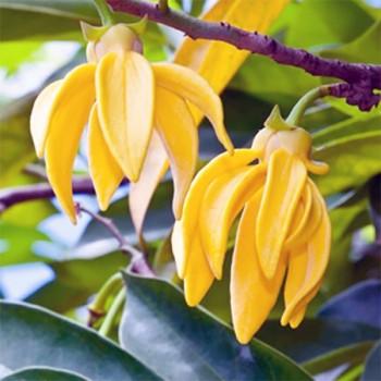 10ml Naturreines, ätherisches Ylang Ylangöl Cananga odorata