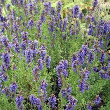 Naturreines, ätherisches Ysopöl Hyssopus officinalis